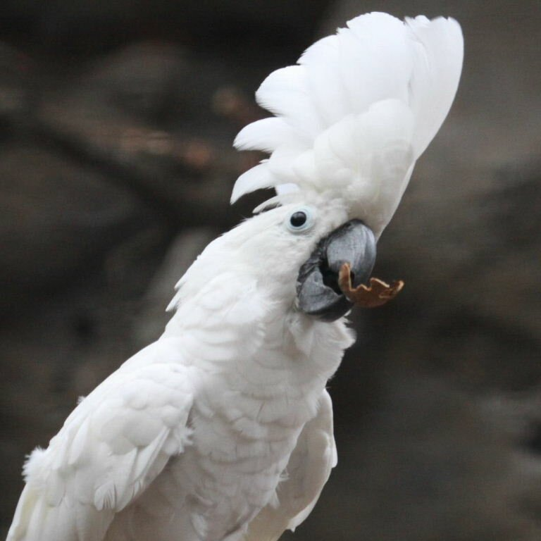 Белохохлый Какаду